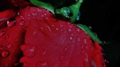 「雨に濡れる花びら」
