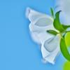 「白薔薇の純真」