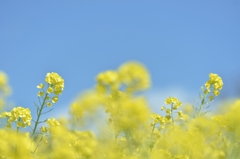 「幼稚園の子供たちが植えた菜の花たち」