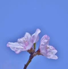「アーモンドの花が咲いたよ」