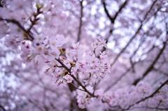 「広角レンズで楽しむ桜」