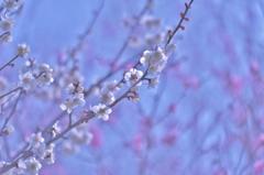 「梅は咲いたよ、桜はもうすぐだね」