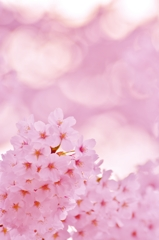 「桜色の世界」