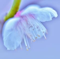 「梅は咲いたか 桜はまだかいな」