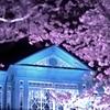「夜桜」 其の七