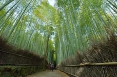 「早朝の竹林散策」
