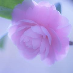 「乙女椿の純真」