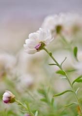 「花簪」 ~ハナカンザシ 冬の白い妖精~