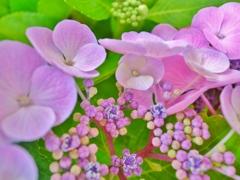 「紫陽花の季節」 ~春から夏へ移ろいゆく~