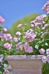 「薔薇の季節になりました」