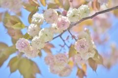 「名残桜」