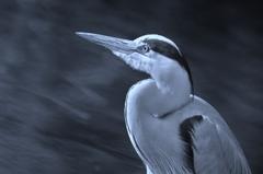 自然に生きるリアルな 蒼鷺の描写