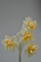 「しっとりと咲く八重咲水仙」 ~春の歌が聴こえ始めました~