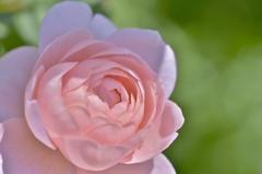 「薔薇恋し」
