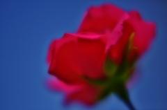 「バラの季節」