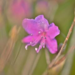 「山つつじの花が咲いたよ」