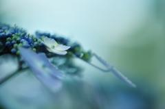 アジサイ 青緑