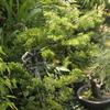 祖父の家の盆栽2