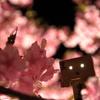 わーぃ、桜満開なのだぁぁ!!