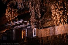 光福寺の大糸桜2020