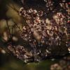 夕陽を浴びる梅(2)