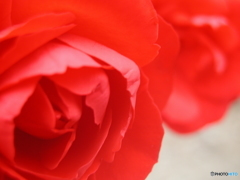 曇っていたのでバラを撮る