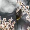 うめじろー2 (飛び散る花粉)