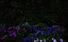 紫陽花と蛍