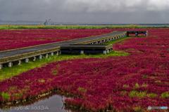 北のサンゴ草