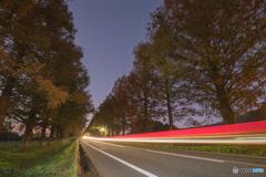 夜明け前、メタセコイアの並木道