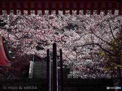 寺は壷坂、桜の緞帳。