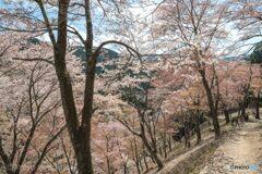 奥千本の白山桜 (苔清水に至る道)