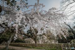 京都御苑の枝垂れ桜(イトザクラ)