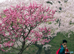 五稜郭公園の紅梅