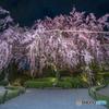 退蔵院の枝垂れ桜