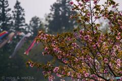 野辺地で見た八重桜と鯉のぼり