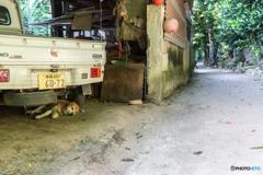 オキナワン チルダイ (フクギ並木を散歩中...)