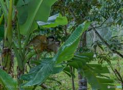 芭蕉の葉陰で雨やどり