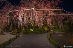 退蔵院の枝垂れ桜(まあだだよ!)