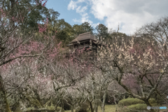 石山寺 薫苑の梅花
