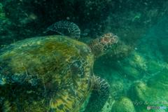 A green turtle. アオウミガメ。台湾 小琉球にて