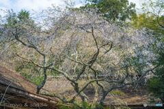 吉野水分神社のしだれ桜