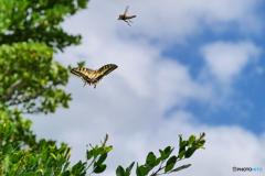 胡蝶の舞 アゲハ、夏空にスクランブル発進。