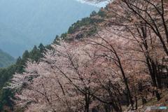 奥千本 西行庵近くの白山桜