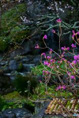 鎌倉 長谷寺の玄海ツツジ