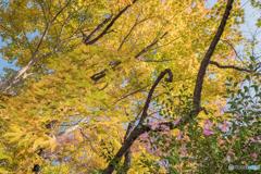 きもみぢ、桜の枝に山茶花