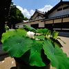 京都2014夏|東福寺庫裡前の蓮の花