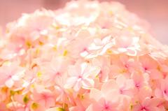 ピンクのアジサイ