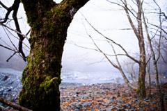 大谷崩れの木