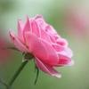 遅く来た夏のバラ